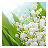 Lily of the valley, Lily of the valley