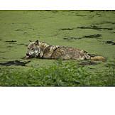 Wildlife, Wolf