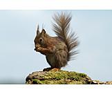 Wildlife, Feeding, Red Squirrel