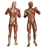 Anatomie, Muskelaufbau, Medizinische Grafik