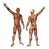 Clue, Anatomy, Muscle, Medical Illustrations