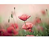 Flower meadow, Poppy flower, Papaver meadow