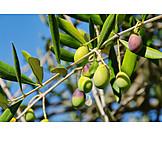 Olive branch, Olives, Olive tree