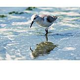 Snipe, Bar tailed godwit