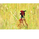 Common pheasant, Galliformes