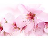 Spring, Cherry blossom, Flowering