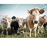 Threatening, Cow, Cow herd