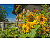 Garden, Sunflower, Farmhouse