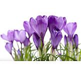 Spring, Crocus