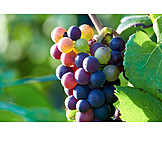 Grapes, Vine, Vine