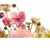 Anemone, Anemone flower