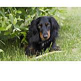 Dachshund, Longhaired dachshund