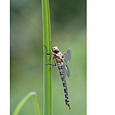 Dragonfly, Southern hawker