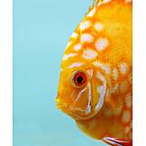 Fish, Discus fish