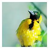 Mockingbird, Pirol