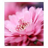 Blossom, Aster