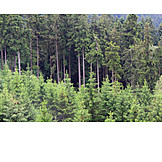 Forest, Coniferous, Pine forest
