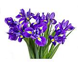 Bouquet, Sword lily, Iris reticulata