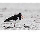 Shorebird, Oyster catcher