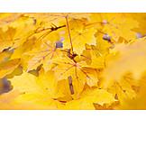 Autumn, Autumn Leaves, Maple Leaf, Maple Tree