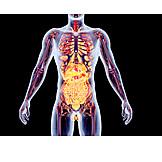 Anatomy, Medical Illustrations, Human Internal Organ