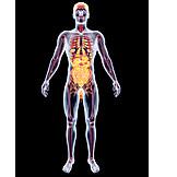 Medizinische Grafik, Innere Organe, Organsystem