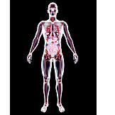 Medizinische Grafik, Gläserner Mensch, Organsystem