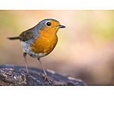 Bird, Robin
