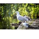Seagull, Herring gull