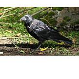 Bird, Jackdaw
