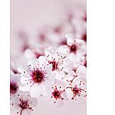 Cherry blossom, Flowering