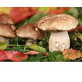 Cepe, Mushroom