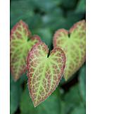 Leaf, Epimedium