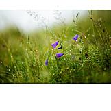 Mountain flower, Gentian, Morning dew