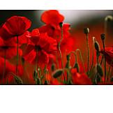 Poppy, Poppies, Poppy flower