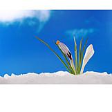 Growth, Spring, Crocus