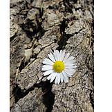 Spring, Daisy, Tree Bark