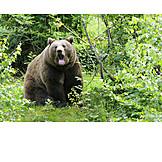 Wildlife, Brown Bear