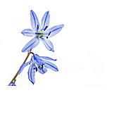 Spring, Squill