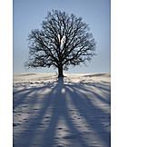 Tree, Winter, Shadow, Oak Tree