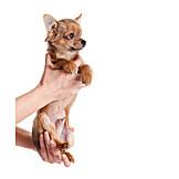 Pflege & Fürsorge, Welpe, Chihuahua