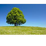 Nature, Tree, Environment, Tilia
