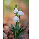 Spring, Lady Beetle, Leucojum Vernum