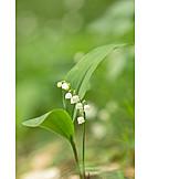 Spring, Lily Of The Valley