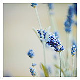 Flower, Lavender, Lavender blossom