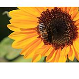 Nature, Summer, Sunflower, Bee