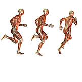 Musculature, Anatomy, Medical Illustrations