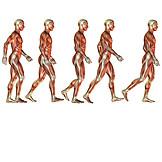 Muskulatur, Anatomie, Medizinische Grafik