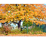 Tree, Autumn, Beech Tree