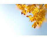 Copy Space, Autumn, Maple Tree